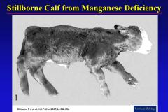 stillborn calf Mn def