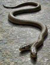 twinheaded snake post chernobyl