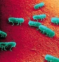 Salmonella_Typhimurium_pathogenesis