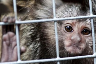 Marmoset monkey DSTL victims